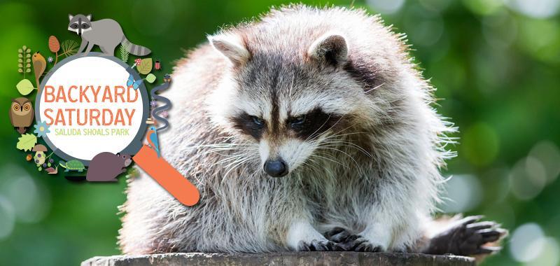 Backyard Saturday - Raccoon Appreciation